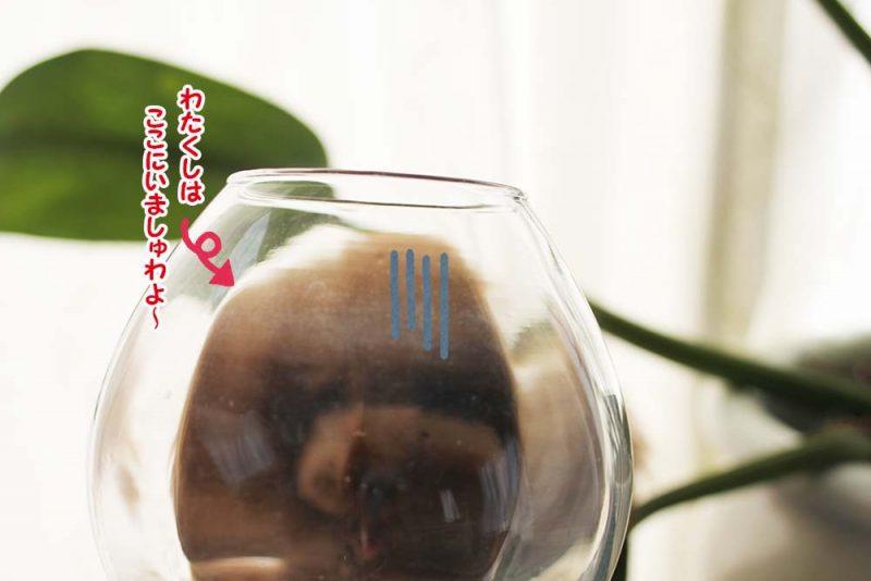 可愛い極小ティーカッププードル ドワーフ343